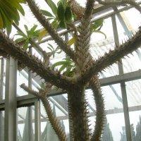 Крым. Никитский ботанический сад. Кактусовая оранжерея :: татьяна