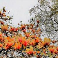 Магнолия в цвету :: Валерий Розенталь
