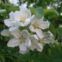 Яблоневый цвет :: марина ковшова