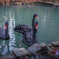 Черные лебеди :: Маргарита Си