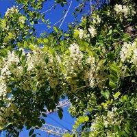 белой акации гроздья душистые... :: Александр Корчемный