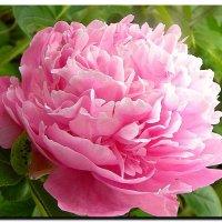 розовый  пион. :: Ivana