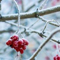 Рябина в снегу :: Rina Klimenko