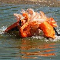 А фламинго так хорош,краше птицы не найдешь :: Galina Leskova