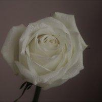 Роза :: Ирина Горовик