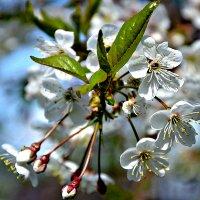 Вишня в цвету. :: Михаил Столяров