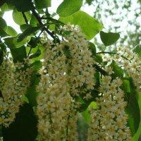 Цветет черемуха к похолоданию... :: марина ковшова