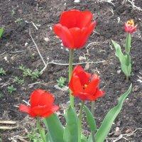 Красные цветы весны :: Дмитрий Никитин