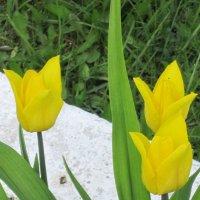 Жёлтые тюльпаны :: Дмитрий Никитин