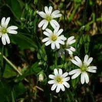 Цветы на лесной полянке :: Милешкин Владимир Алексеевич