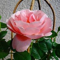 И вновь, зацвели розы на моем балконе!!... :: Galina Dzubina