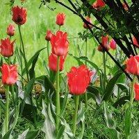 Тюльпаны в сквере :: Маргарита Батырева