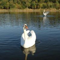 Лебеди на биофабринском пруду :: Дина Дробина