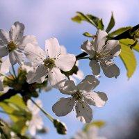 Черешня цветет :: Лариса Валентинова