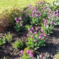 На клумбах цветёт Весна ! :: Наталья Денисова