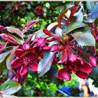 Яблоня декоративная пурпурная. :: Валерия Комова