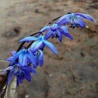 Первые цветы! :: Владимир Шошин