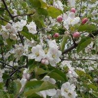 Маленький мир яблоневых цветов :: Tarka