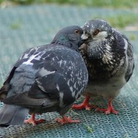Любовь и голуби. :: kolin marsh