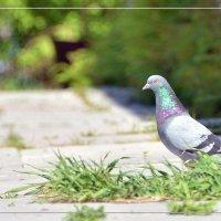 Одинокий голубь :: Олег Меркулов