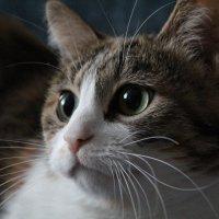 Кошка Буся :: Ирина Горовик
