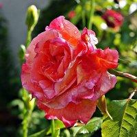21 мая — Всемирный день роз! :: Александр Корчемный