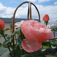 Pозы на моем балконе! :: Galina Dzubina