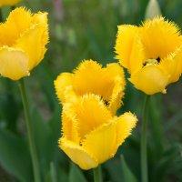 Желтые тюльпаны. :: Анатолий Сидоренков