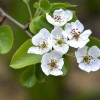 Яблонька цветет... :: Дмитрий Петренко