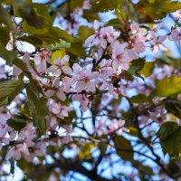 Сакура в цвету :: Татьяна Бронзова