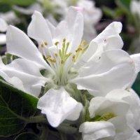 Весенний этюд с цветами яблони :: Николай Борисович