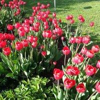 Московские тюльпаны. :: Наталья Денисова