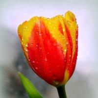 Изящен пламенный цветок, на длинном стебле горд и одинок.. :: Андрей Заломленков