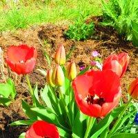 Красные тюльпаны.... :: ВАЛЕНТИНА ИВАНОВА
