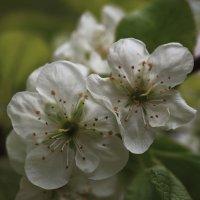 Один раз в год сады цветут... :: Татьяна Панчешная