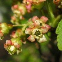 Цветы черной смородины :: Марина Ломина