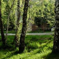 Берёзы светятся на солнце. :: Мила Бовкун