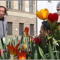 Мюнхенские тюльпаны :: Михаил Розенберг