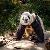Большая панда...ZOO...Пекин. :: Александр Вивчарик