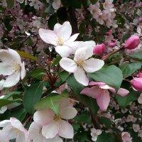 Яблони в цвету... :: Марина Шанаурова (Дедова)