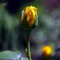 Солнечная роза :: Валентина К