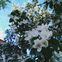 Небесные цветы яблони) :: Татьяна Колганова