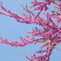 Церцис(Cercis),Багрянник, Иудино дерево :: Swetlana V