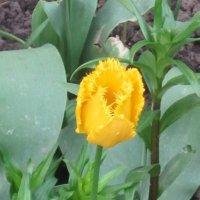 Жёлтый махровый тюльпан :: Дмитрий Никитин