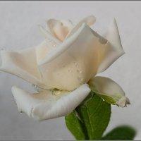 Белая роза...росою умыта... :: Людмила Богданова (Скачко)