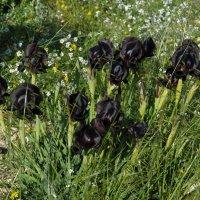 Чёрные ирисы пустыни Негев. :: Надя Кушнир