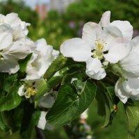 Цвет яблоньки. :: Татьяна Помогалова