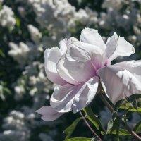 Расцветают пионы. :: Svetlana