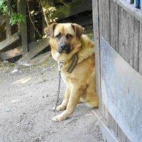 Сторожевой пёс, но почему-то совсем не страшный :: Маргарита Батырева