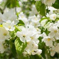 """""""Яблони в цвету, весны творенье, Яблони в цвету, любви круженье..."""" :: Елена Князева"""